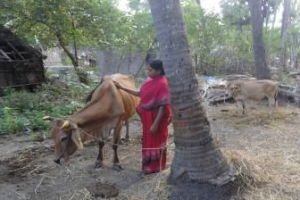 Improving Livelihood Through Milch Animals